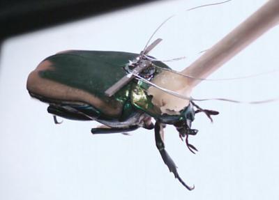 Schon real: Käfer mit piezoelektrischem Generator (Bild: Erkan Aktakka)