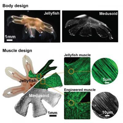 Vergleich: Medusoid und Ohrenqualle (Bild: Janna Nawroth/ Caltech)