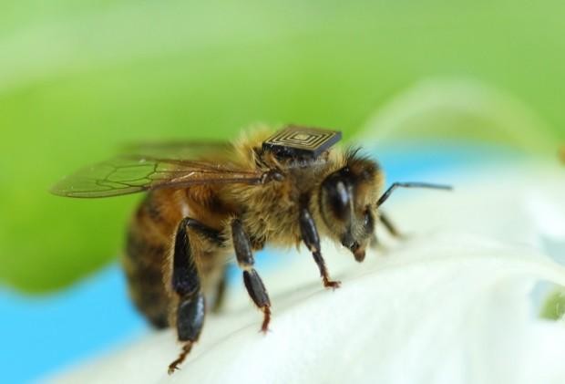Biene mit RFID-Tag (Bild: CSIRO)