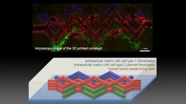 3D-gedrucktes Gewebe unter dem Mikroskop und als schematische Darstellung (Bild: Harvard University)