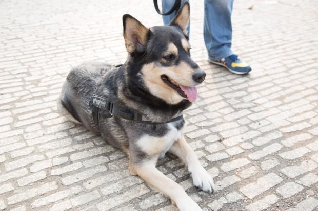Husky-Schäferhund-Mischling Chase mit dem Tractive Motion am Halfter (Bild: Martin Wolf/Golem.de)