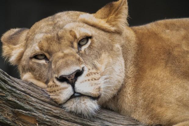 Löwe im Tierpark Hagenbeck: Geht es noch größer? (Foto: Werner Pluta/Golem.de)