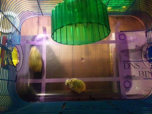 Eine aufgezeichnete Skala auf dem transparenten Boden des Hamsterkäfigs erlaubt das Ausmessen der Hamsterschritte. (Bild: Michelle Leonhart)