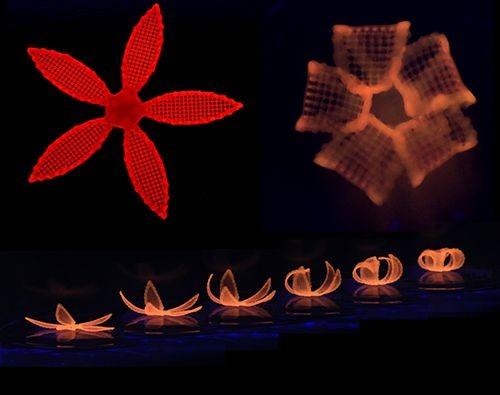 Die Bilderserien zeigt, wie sich das 4D-geduckte Objekt im Wasser verändert. (Bild: Wyss Institute/Harvard University)