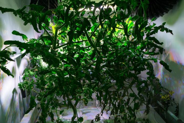 15 verschiedene Pflanzensorten  bauen die Bremer an - hier eine Tomate, ... (Foto: Werner Pluta/Golem.de)