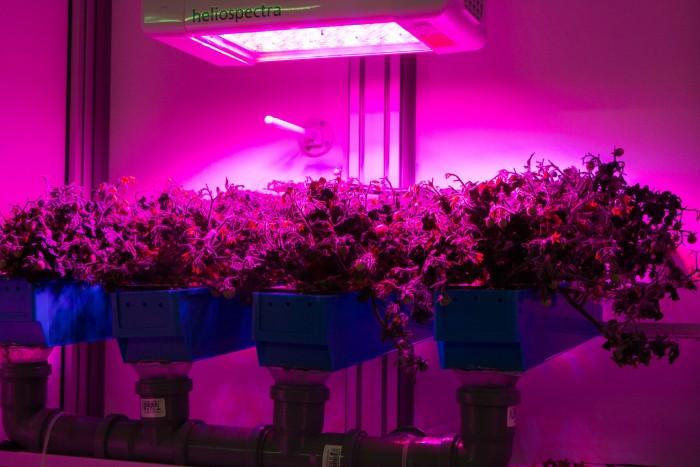 Die Tomaten der Sorte Micro-Tina fliegen ins All. Der Farbstich kommt durch die Beleuchtung. (Foto: Werner Pluta/Golem.de)