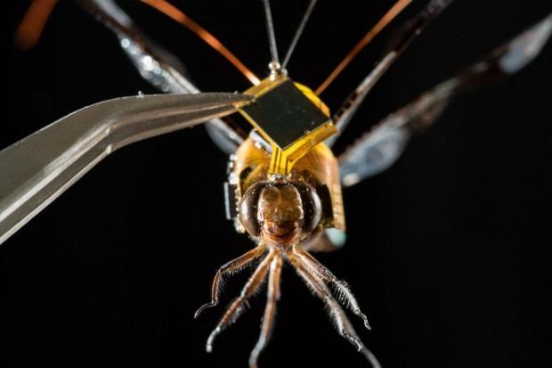 Cyborg-Insekt: US-Forscher haben eine Libelle mit einer Steuerelektronik ausgestattet. (Foto: Draper)