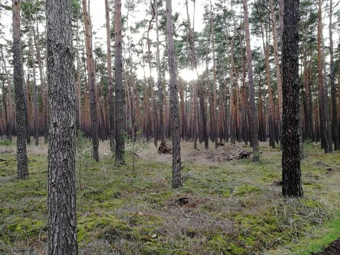 Der Wald gilt als erntereifer Kiefernforst. (Foto: Friedhelm Greis/Golem.de)