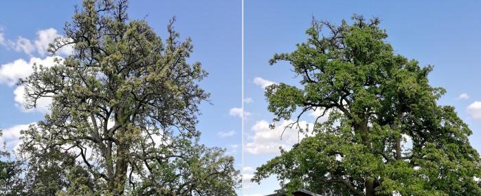 Während die beiden Birnbäume 2019 noch gleich belaubt waren, zeigen sich im direkten Vergleich starke Unterschiede. (Foto: Friedhelm Greis/Golem.de)
